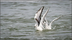 (c)WMH_2019_10_18 Bonaparte's Gulls (2) (WesleyHowie) Tags: birds bonapartesgull canada coleharbour gull location novascotia saltmarshtrail wildlife