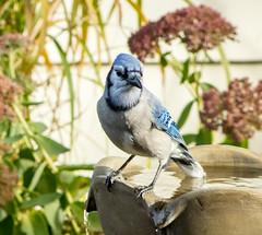 Blue Jay at the Fountain (mahar15) Tags: bird outdoors wildlife bluejay jay nature