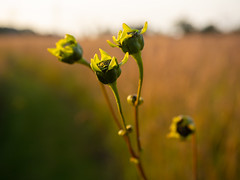 the last buds of summer (contemplative imaging) Tags: 2019 20190920 43 america american cimccdpv20190920em1x contemplativeimaging em1x friday mccd mchenrycounty mchenrycountyconservationdistrict olympus pleasantvalley ronzack september usa conservation day digital district editorial fourthirds green hot hummid journalism midwest midwestern natural nature partlycloudy photography photojournalism prairie preserve summer sunny buds wildflowers wildflower flower flowers plant plants boken dof oly1240f28