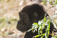 Mandara in the shade (Tim Brown's Pictures) Tags: washingtondc nationalzoo smithsonian zoo zoos park outdoors rockcreek animals mammals endangeredspecies primates gorillas westernlowlandgorilla washington dc unitedstates