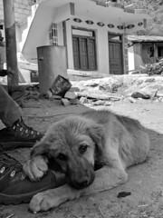 Tired Mountain Pup ([Kevin] [McCarthy]) Tags: dog pup puppy hiking trek trekking hike mountains himalayan gaddi kutta tired sleepy zzz boot boots india uttarakhand
