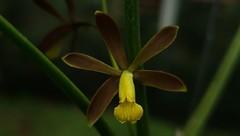 Encyclia conchaechila  (Barb.Rodr.) Porto & Brade 1935 (Cassano, A.) Tags: encyclia encycliaconchaechila orchid orquidea flower flor nature
