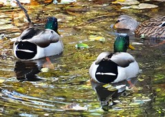 A golden pond (EcoSnake) Tags: ducks mallards ponds waterfowl october leaves sunlight fall idahofishandgame naturecenter