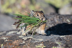 Mouthful.... (Hilary Bralove) Tags: pika colorado nikon nature animals coloradowildlife wildlife coloradoanimals rockymountains cuteanimals