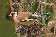 goldfinch (DODO 1959) Tags: wildlife goldfinch nature avian birds fauna finch outdoor animal thistles canon 100400mmmk2 7dmk2 carmarthenshire michaelpowellhide wwt llanelli wales