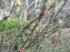 山龍眼科  Grevillea tripartita 三叉葉銀樺 銀樺屬 (Sheila's collection) Tags: 山龍眼科 proteaceae grevillea tripartita 三叉葉銀樺 australian native shrub