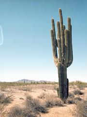 Cactus at Sonoran Desert National Monument (Boris Capman) Tags: sonoran desert arizona phoenix cactus cacti 645 bronica etrs kodak portra160 landscape scenery nature outside outdoor filmisnotdead filmphotography 120film mediumformat travel roadtrip backpacking argentique analog