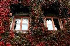 Autumn Windows (halleluja2014) Tags: windows natural creeper virginiacreeper fönster vildvin klätterväxt dalarna autumn september höst falun
