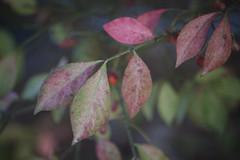 Burning Bush Leaves In Pastel (Modkuse) Tags: burningbush nature natural art artphotography artistic artisticphotography photoart fineartphotography fineart leaves fujifilm fujifilmxt2 fujinon xt2 xf55200mmf3548rlmois fujinonxf55200mmf3548rlmois bokeh classicchrome fujifilmxt2classicchrome creamybokeh
