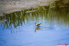 Chevalier Cul-Blanc (Ezzo33) Tags: culblanc tringaochropus chevalierculblanc france gironde nouvelleaquitaine bordeaux ezzo33 nammour ezzat sony rx10m3 parc jardin oiseau oiseaux bird birds
