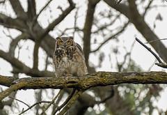 Great Horned Owl.  (9) (Estrada77) Tags: greathornedowl owl raptors distinguishedraptors birdsofprey nikon nikond500200500mm nature animals birds birding wildlife outdoors october2019 fall2019 foxriver kanecounty illinois