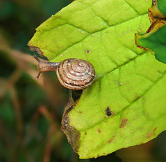 Small snail:  17.10.19. (VolVal) Tags: dorset bournemouth boscombe garden snail leaves october