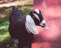 Goat (agasfer) Tags: 2019 northcarolina carl sandburg estate appalachia domestic animals sony a6000 sonye1850oss