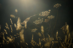 Skeleton (tonguedevil) Tags: outdoor outside countryside autumn nature field meadow grass dew morning dried golden colour light shadows sunlight sunrise bokeh