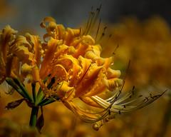 Lycoris africana (shinichiro*) Tags: 20190928dsc50652 2019 crazyshin nikon1v3 v3 1nikkorvr70300mmf4556 september autumn yokohama japan jp flower macro candidate