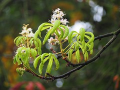 flowers (victoriacubrac) Tags: flower chestnuts fall autumn leaf green white tree