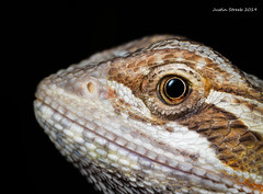 Bearded Dragon (strjustin) Tags: lizard beardeddragon dragon animal macro focusstacking beautiful eyes