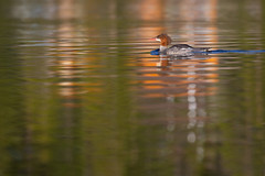 Merganser (hardaker) Tags: echolake day duck green hunt lake merganser nature onfrontwide orange reflection ripples swim wildlife tofb