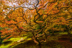 Under an Autumn Canopy (Cole Chase Photography) Tags: autumn fall seattlejapanesegardens pacificnorthwest october tree leaves beautyinnature outdoors mapletree japanesemaple branches