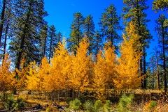 Fall Colors (Buck--Fever) Tags: arizona arizonaskies arizonawonders arizonafallcolors fallcolors aspentrees aspens yellow trees bluesky northernarizona northkaibabnationalforest kaibabplateau kaibab kaibabnationalforest canon60d tamron18400lens