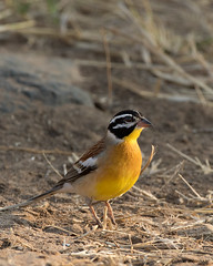 Golden-breasted Bunting (leendert3) Tags: leonmolenaar southafrica krugernationalpark wildlife wildanimal wilderness nature naturereserve naturalhabitat bird goldenbreastedbunting naturethroughthelens coth5 ngc npc