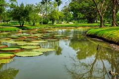Giant Amazonian Water Lily Pads in Suan Luang Rama IX park in Bangkok, Thailand (UweBKK (α 77 on )) Tags: suanluang suan luang rama ix park garden recreation sony alpha 77 slt dslr green plants tree bush flora giant amazonian amazon water lily pad reflection leaf leaves bangkok thailand southeast asia