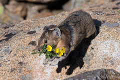 _9HB0206 (Hilary Bralove) Tags: pika colorado nikon nature animals coloradowildlife wildlife coloradoanimals rockymountains cuteanimals