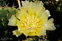 Eastern Prickly Pear Cactus (Opuntia humifusa) (KristenMartyn) Tags: ontario canada nature tour tours wildbirds naturetours wildflower wildflowers nativeplant flower flowers nativeplants cacti cactus succulent succulents opuntiahumifusa easternpricklypearcactus pricklypear