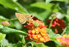 Fiery Skipper (Christopher Lindsey) Tags: montecito sanbernardinocounty california butterfly hylephilaphyleus fieryskipper
