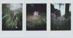 suddenly rain lilies are blooming (breeze.kaze) Tags: instantfilm fujiinstaxminifilm mintinstantflextl70 autumn evening dusk zephyranthesrosea rainlily flowers