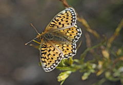 Coronis Fritillary (Speyeria coronis) (Ron Wolf) Tags: coronisfritillary crownfritillary leadville lepidoptera nymphalidae rockymountains speyeriacoronis butterfly insect montane nature wildlife california
