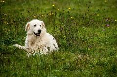 Campagne d'Oust (Ariège) (PierreG_09) Tags: oust ariège pyrénées pirineos campagnedoust faune troupeau mouton brebis agneau chien patou