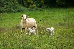 Campagne d'Oust (Ariège) (PierreG_09) Tags: oust ariège pyrénées pirineos campagnedoust faune troupeau mouton brebis agneau