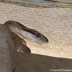 Boiga siamensis (Grey Cat Snake) (GeeC) Tags: tatai boigasiamensis serpentes colubrinae nature chordata squamata animalia kohkongprovince cambodia reptilia colubridae boiga catsnakes greycatsnake lizardssnakes snakes