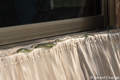 Chrysopelea ornata (Golden Tree Snake) (GeeC) Tags: chrysopelea tatai animalia serpentes colubrinae nature chordata squamata kohkongprovince chrysopeleaornata cambodia colubridae reptilia goldentreesnake lizardssnakes snakes