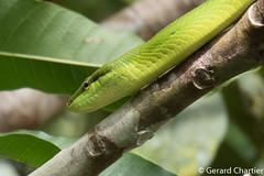 Gonyosoma oxycephalum (Red-tailed Rat Snake) (GeeC) Tags: nature cambodia animalia reptilia colubridae chordata serpentes squamata tatai gonyosomaoxycephalum kohkongprovince redtailedratsnake colubrinae gonyosoma lizardssnakes snakes