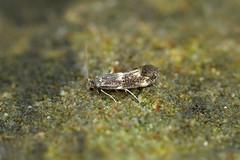 Photo of 38.025 Elachista atricomella, Kincraig, Fife
