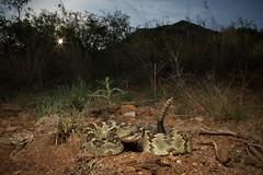 Black-tailed Rattlesnake (Crotalus molossus) (CNZdenek) Tags: crotalus crotalusmolossus rattlesnake blacktailedrattlesnake cnzdenek christinazdenek christinanzdenek herpsofarizona arizona snakesofarizona arizonawildlife venomoussnakes venomoussnakesofarizona snakesofsearizona