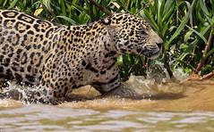 Happy Caturday! (AnyMotion) Tags: jaguar pantheraonca onçapintada cat cats katzen katze water wasser 2019 anymotion sãolourençoriver pantanal matogrosso brazil brasilien southamerica südamerika américadosul travel reisen animal animals tiere nature natur wildlife 7d2 canoneos7dmarkii ngc npc