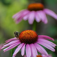 Purpur-Sonnenhut  (1) (berndtolksdorf1) Tags: deutschland thüringen blumen flowers sonnenhut gartenblume pflanze outdoor insekten