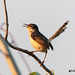 Plain Prinia facing the sunset