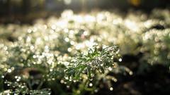 Morning dew. Bokeh Macro and close-up. (ALEKSANDR RYBAK) Tags: боке макро крупный план роса капли утро трава свежесть солнечный свет bokeh macro large plan dew drops morning grass freshness solar shine closeup