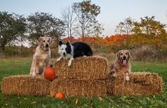 Halloween Pet Shoot! (Rainfire Photography) Tags: halloween autumn nikon d850 event dogs pumpkin farm