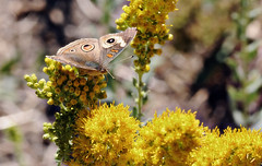 Buckeye on goldenrod (TJ Gehling) Tags: insect lepidoptera butterfly nymphalidae buckeye commonbuckeye junonia junoniacoenia plant flower asterales asteraceae goldenrod californiagoldenrod solidago solidagocalifornica canyontrailpark elcerrito
