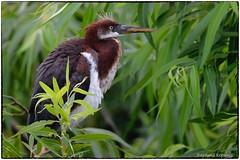Young TriColor Heron (RKop) Tags: circlebpreserve florida raphaelkopanphotography nikon d500 600mmf4evr 14xtciii