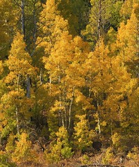 Fall Color in Hope Valley, Ca. (Ruby 2417) Tags: autumn fall color colorful leaves trees forest aspen woods seasonal hope valley tahoe sierras sierra nevada copse mountain