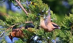 cedar waxwing eating red cedar tree cone at Coon Creek WMA IA 653A8345 (naturalist@winneshiekwild.com) Tags: cedar waxwing eating eastern red tree cone coon creek wma winneshiek county iowa larry reis