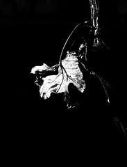 Monochrome. The last autumn leaf on the vine. (ALEKSANDR RYBAK) Tags: монохромный листок виноград лоза свет тень чёрное белое осень сезон настроение макро крупный план monochrome leaflet grape vine shine shadow black white autumn season mood macro closeup