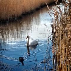 Swan at lodmoor park (Chris Atkins65) Tags: weymouth dorset lodmoor marsh swan bird