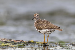 Chevalier grivelé - Spotted Sandpiper (Lucie.Pepin1) Tags: birds oiseaux chevaliergrivelé spottedsandpiper limicoles eau water nature wildlife faune fauna luciepepin canon7dmarkii canon300mml